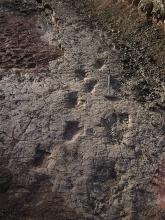 dinosaur, Cretaceous, trackway