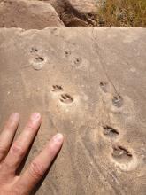 trace fossil, Grand Canyon, coconino sandstone